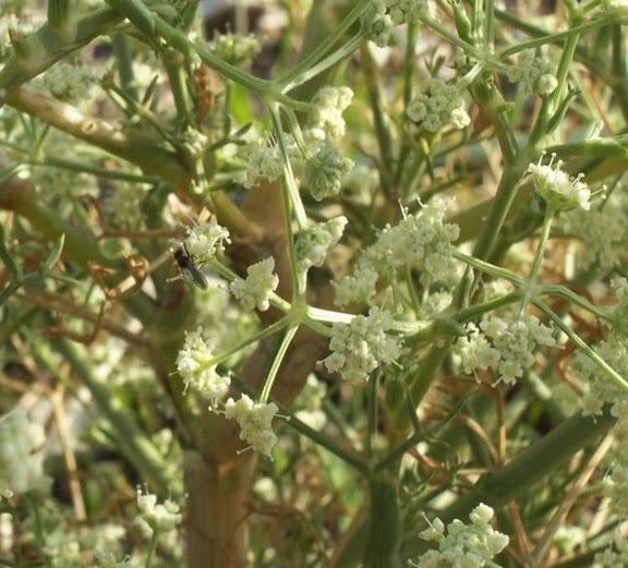 Seseli tortuosum L. subsp. tortuosum