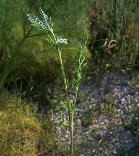 Torilis nodosa (L.) Gaertn. subsp. nodosa