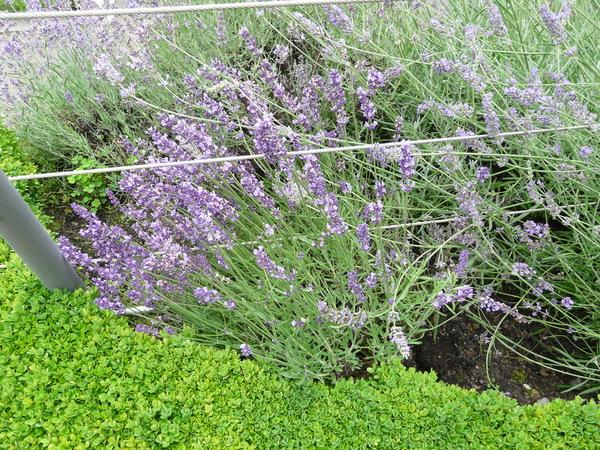 Lavandula angustifolia Mill. 'Hidcote'