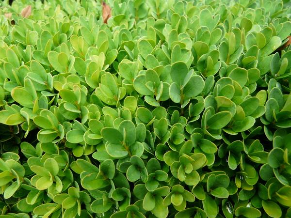 Buxus sempervirens L. 'Suffruticosa'