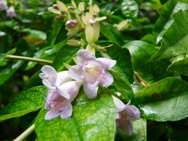 Abelia schumannii (Graebn.) Rehder