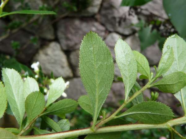 Escallonia 'Iveyi'