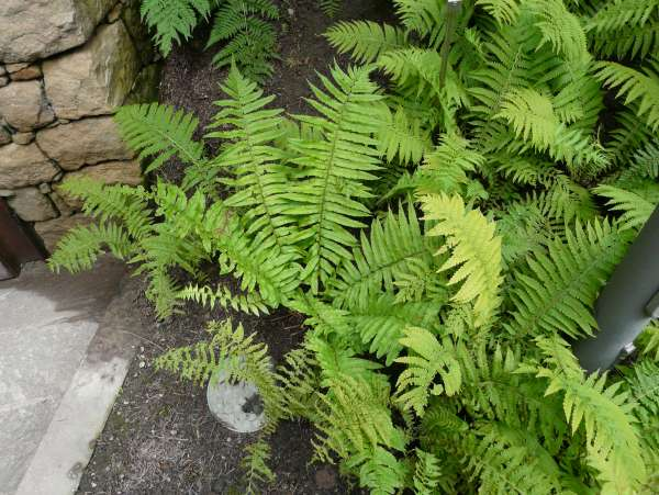 Dryopteris dickinsii (Franch. & Sav.) C. Chr.
