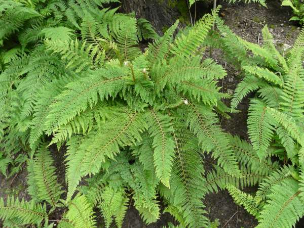 Polystichum setiferum (Forssk.) T. Moore ex Woyn. 'Plumosum'