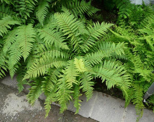 Dryopteris blanfordii (C. Hope) C. Chr.