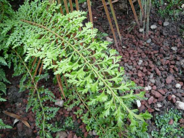 Polystichum setiferum (Forssk.) T. Moore ex Woyn. 'Cristatum Pinnulum'