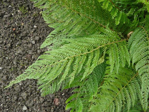 Polystichum setiferum (Forssk.) T. Moore ex Woyn. 'Proliferum'
