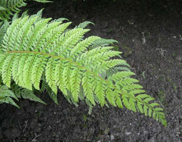 Polystichum setiferum (Forssk.) T. Moore ex Woyn. 'Bland'