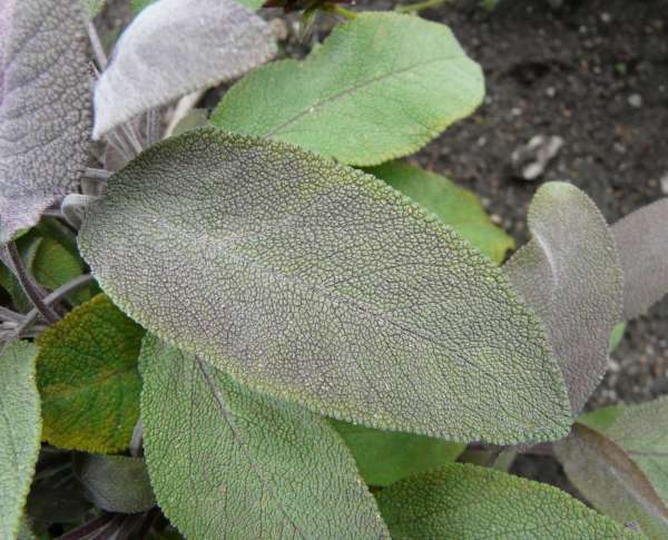 Salvia officinalis L. 'purpurascens'