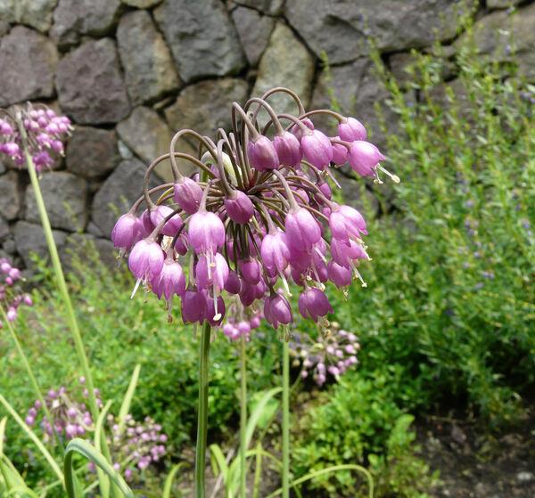 Allium cernuum Roth