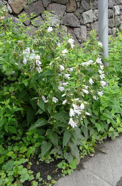 Campanula latifolia L. var. macrantha A. DC. 'Alba'