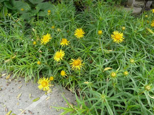Pentanema ensifolium (L.) D.Gut.Larr., Santos-Vicente, Anderb., E.Rico & M.M.Mart.Ort. 'Compactum'