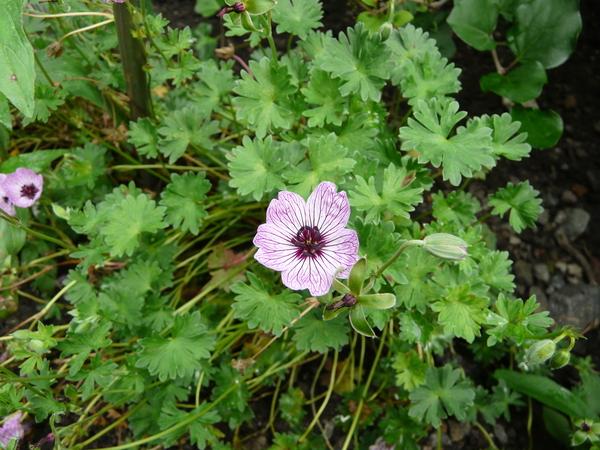 Geranium cinereum Cav. 'Ballerina'