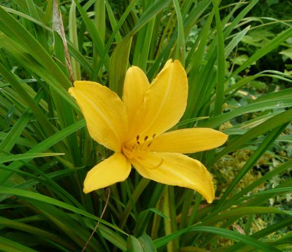 Hemerocallis minor Mill.
