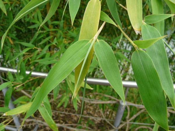 Chimonobambusa quadrangularis (Fenzi) Makino