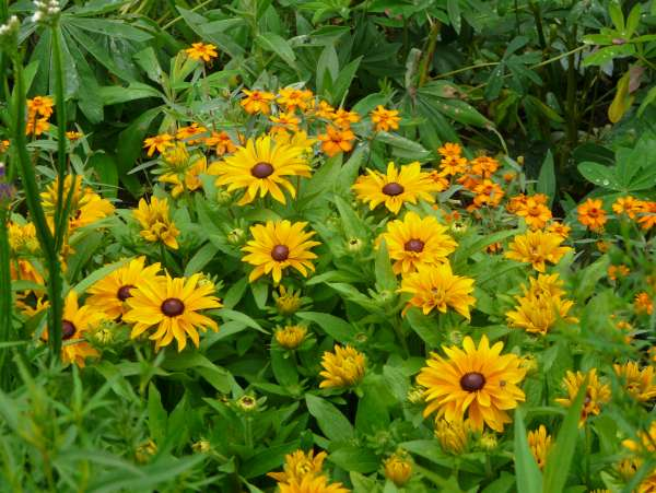 Rudbeckia hirta L. 'Tiger Eye'