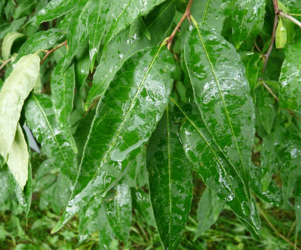 Prinsepia chinensis Oliv. ex Kom. & Aliss.