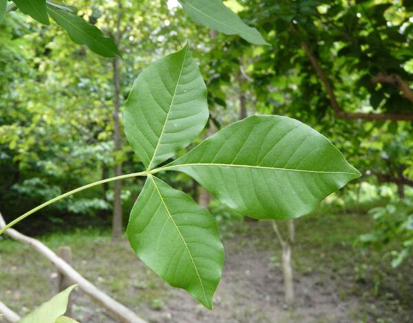Ptelea trifoliata L. subsp. aurea (Greene) V. Bailey