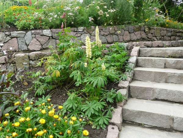 Lupinus polyphyllus Lindl. 'Gallery Mix'