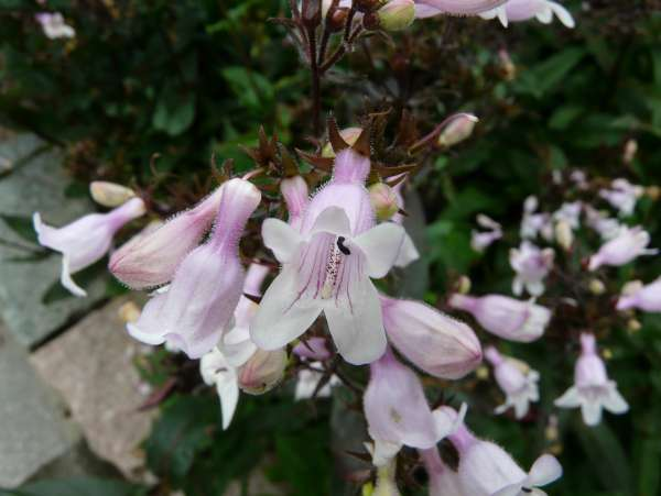 Penstemon digitalis Nutt. ex Sims 'Mystica'