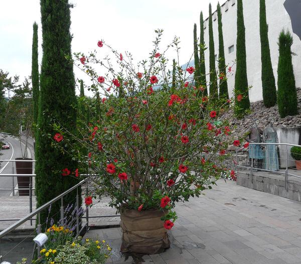 Hibiscus rosa-sinensis L.
