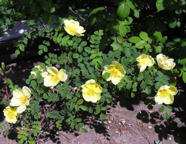 Rosa 'Headleyensis'