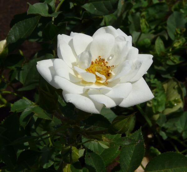Rosa 'Kent ®'