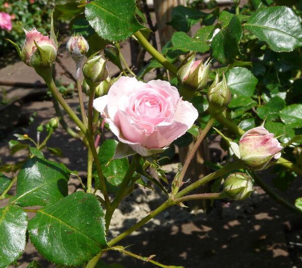 Rosa 'Joachim du Bellay ®'