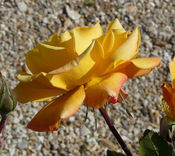 Rosa 'Soleil du Monde'