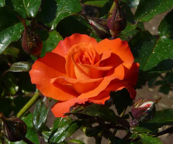 Rosa 'Orange Passion Barora'