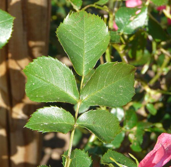 Rosa 'Rosarium Uetersen ®'