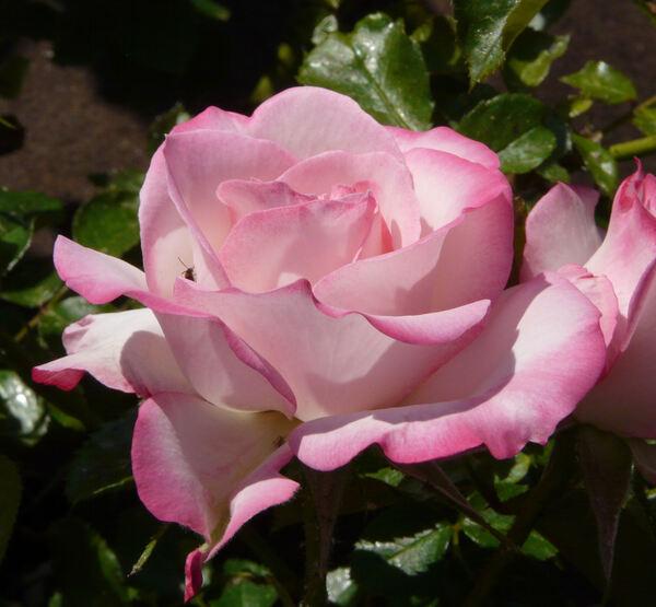 Rosa 'Nicole ®'