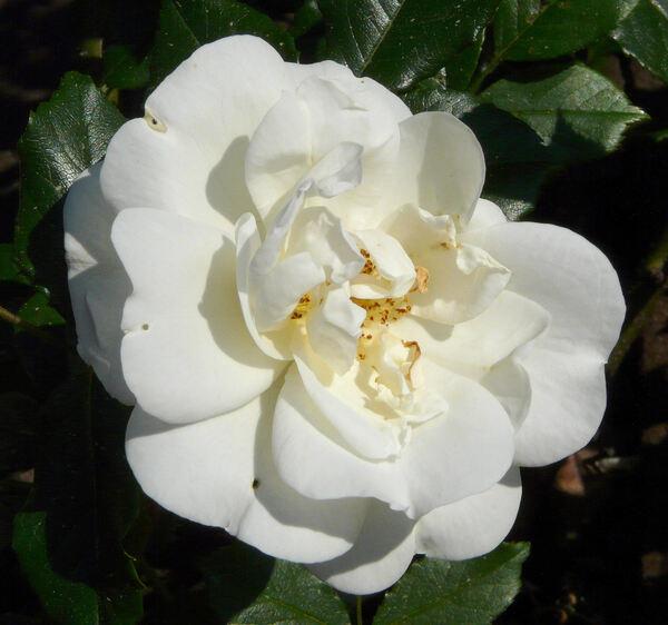 Rosa 'Tall Story ®'