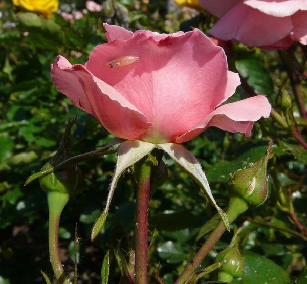 Rosa 'Sexy Rexy ®'
