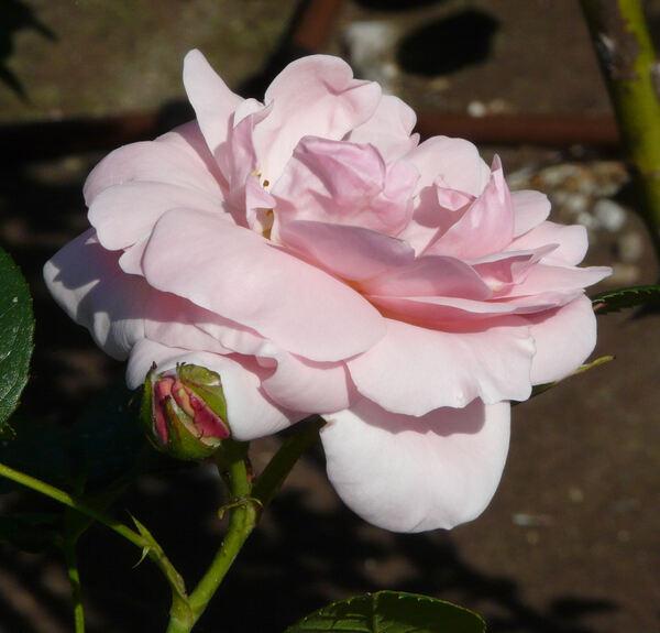 Rosa 'Astrid Lindgren'