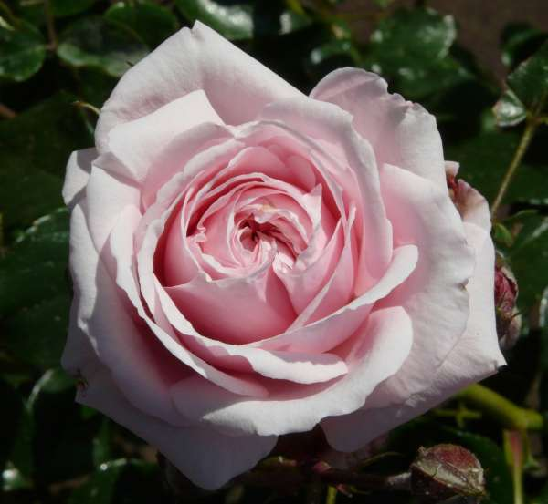 Rosa 'Octavia Hill'