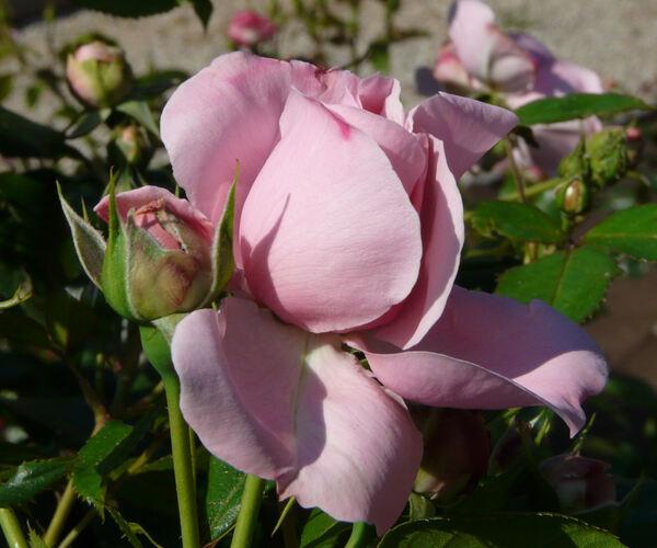 Rosa 'Comtesse de Ségur ®'