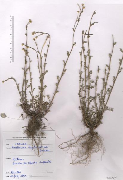 Anthemis hydruntina E.Groves subsp. hydruntina