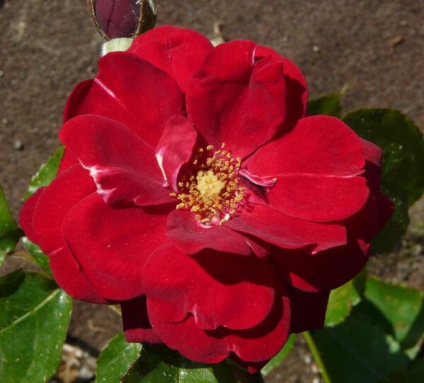 Rosa 'Saint-Vincent ®'