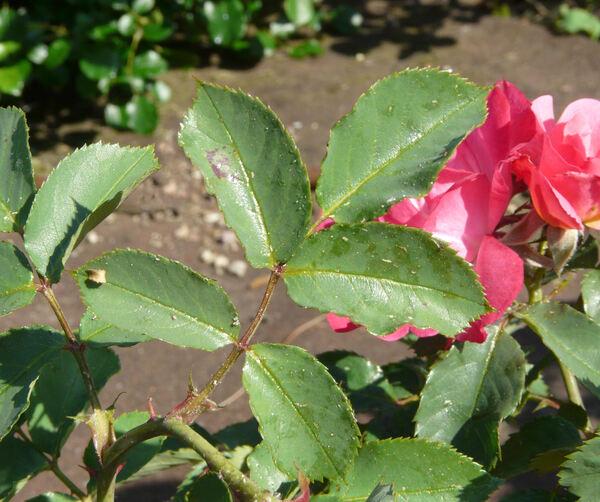 Rosa 'Ville de Roeulx'