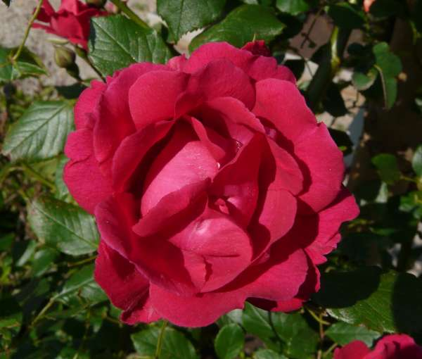 Rosa 'Blaze'
