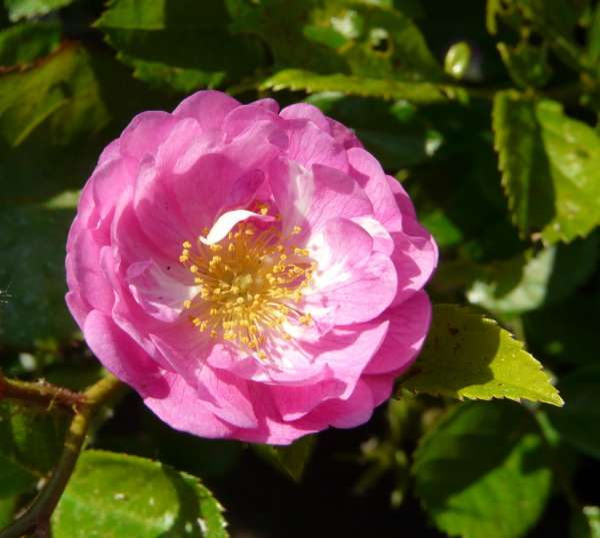 Rosa 'Raimond Privat'