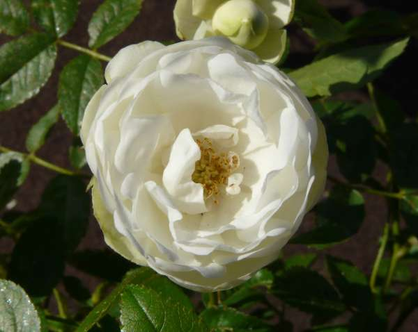 Rosa 'Snövit'