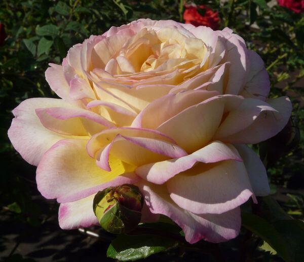 Rosa 'Mitsouko ®'