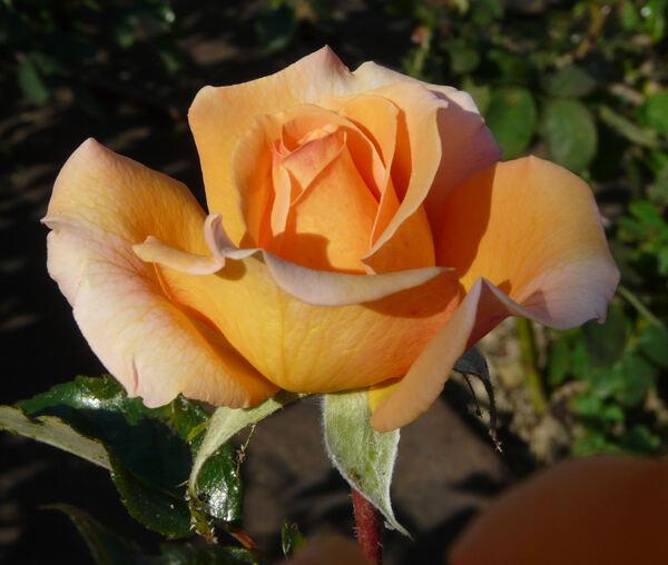 Rosa 'Alexandra ®'