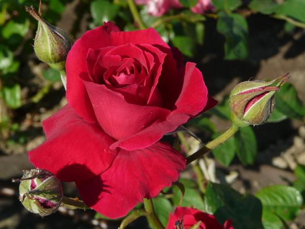 Rosa 'Josysigal'