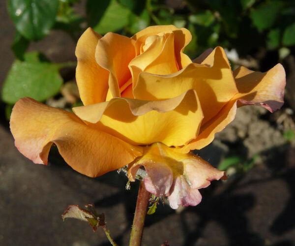 Rosa 'Adolf Horstmann ®'