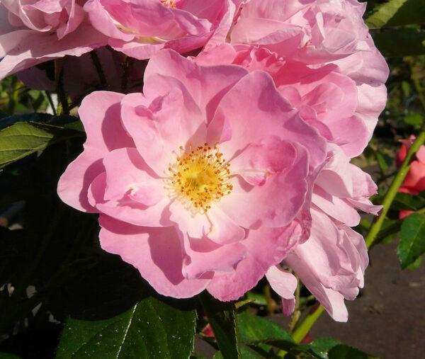 Rosa 'Muria'