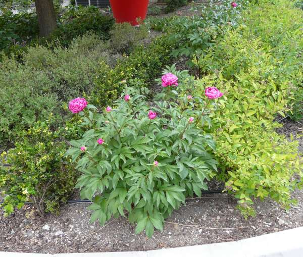 Paeonia officinalis L. 'Rubra Plena'
