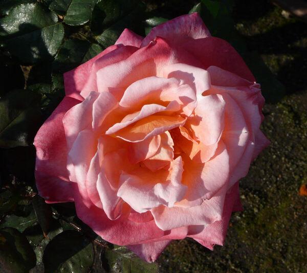 Rosa 'Apogée ®'